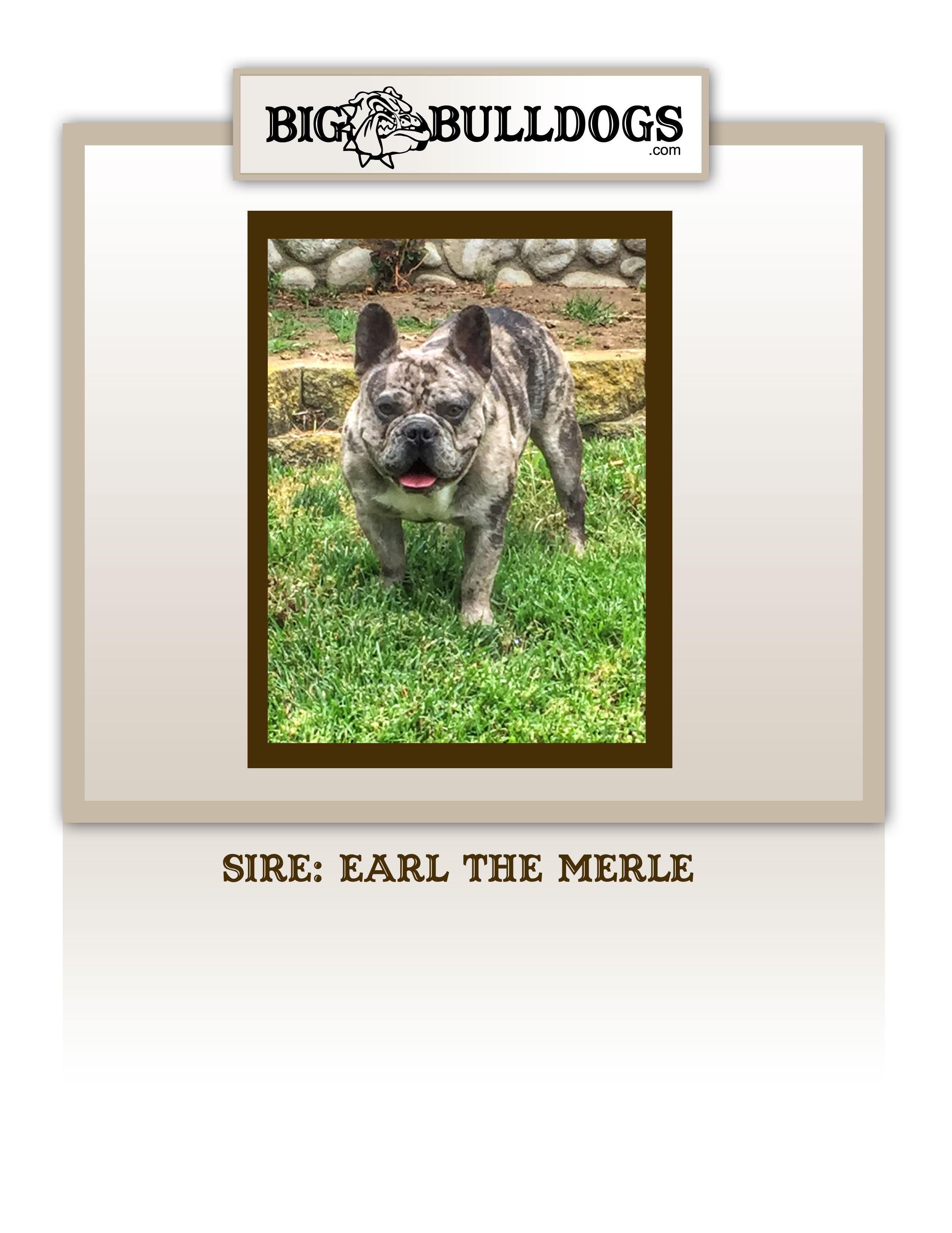 EARL-THE-MERLE-M